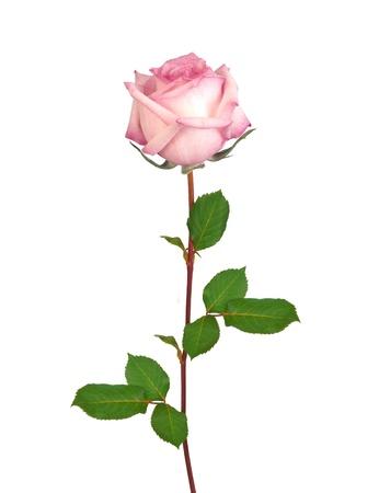 줄기: 아름다운 단일 핑크 로즈는 흰색 배경에 고립