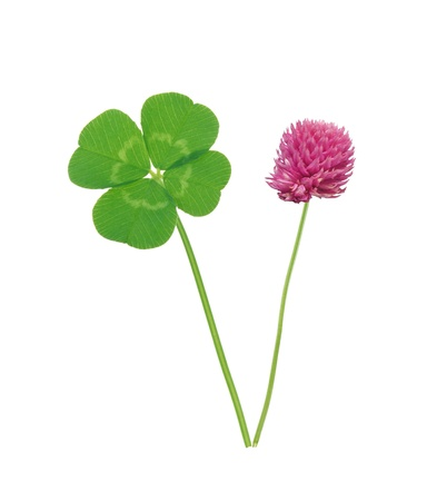 Leaf and flower of clover isolated on white background Stock Photo - 14806378