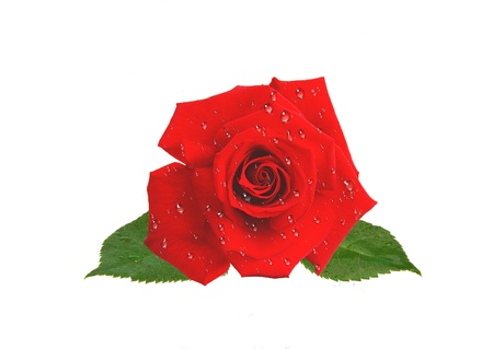 beautiful red rose in water drops isolated on white backround Stock Photo - 14900998