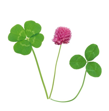 Leaf and flower of clover isolated on white background Stock Photo - 14901073