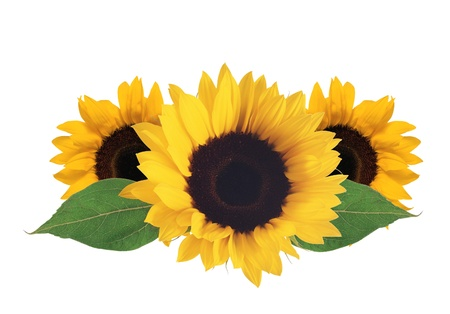 bright sunflowers isolated on white background
