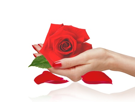 Red rose in woman hand and petals isolated on white background photo