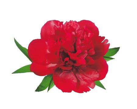 beautiful red peony isolated on white background Stock Photo