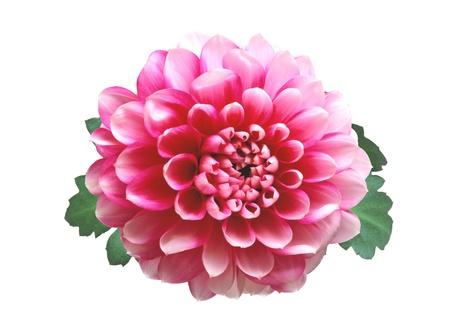 Pink autumn chrysanthemum isolated on white background Stock Photo - 14901181