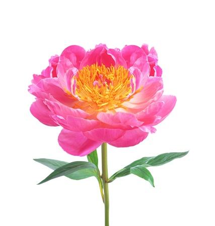 beautiful pink peony isolated on white background photo