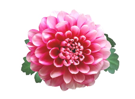 Pink autumn chrysanthemum isolated on white background photo