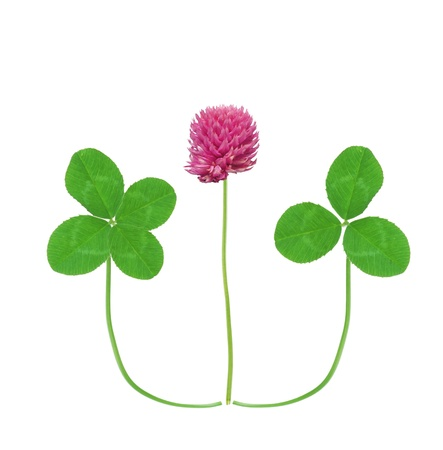 Leaf and flower of clover isolated on white background photo