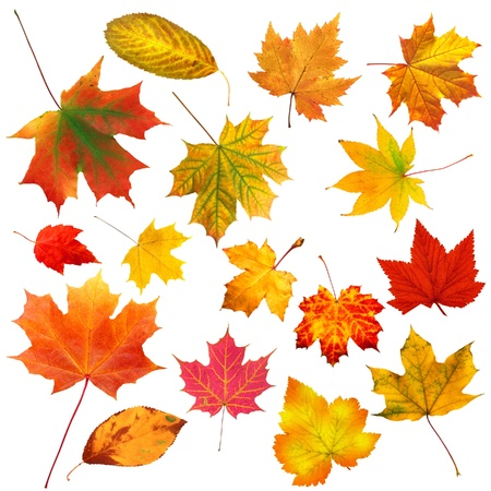 collection beautiful colourful autumn leaves isolated on white background photo