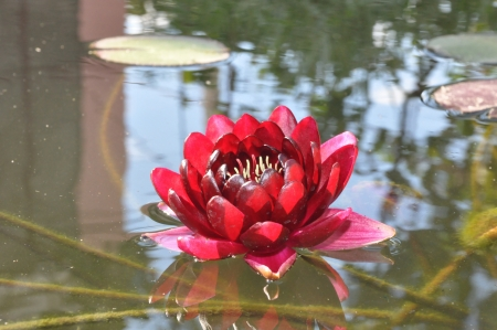 Red water lily outdoor