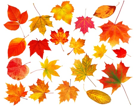 collection beautiful colourful autumn leaves isolated on white background 스톡 콘텐츠