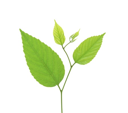 green birch leaves isolated on white background Stock Photo - 17859711