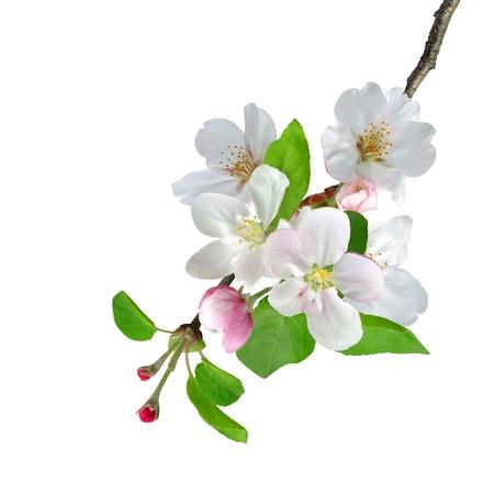 cerezos en flor: Blanco rama de manzano flores sobre fondo blanco Foto de archivo