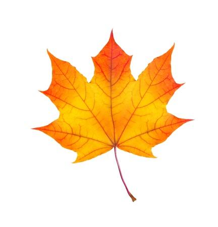 白い背景上に分離されてカラフルな秋のカエデの葉