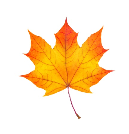 homme détouré: couleurs d'automne feuille d'?rable isol? sur fond blanc