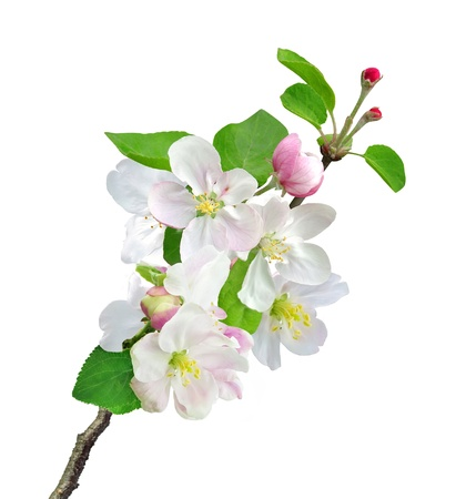 White apple flowers branch isolated on white background