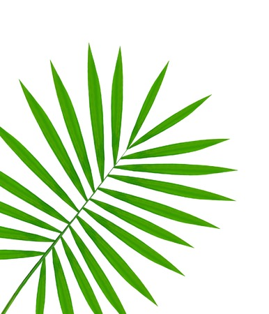 rabbet: beautiful green palm leaf isolated on white background