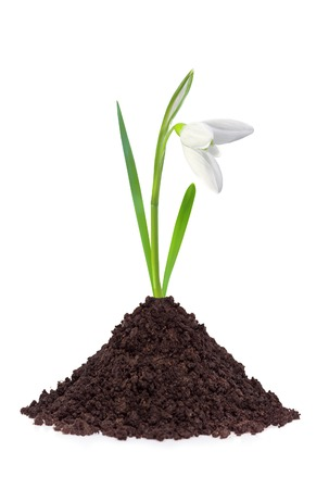 beautiful snowdrop flower growth in soil isolated on white  photo