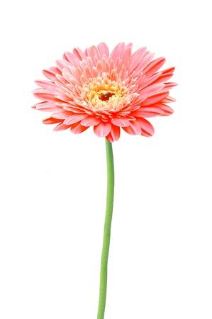 美しい赤いガーベラ デイジーの花が白い背景で隔離