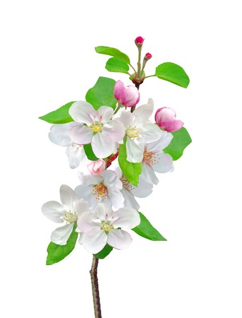 Closeup of Apple blossoms with sample text photo