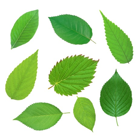 Conjunto de hermosa primavera las hojas verdes aisladas en blanco