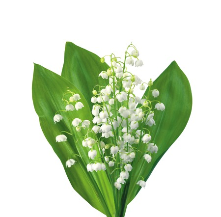 mayflower: White flowers lilies of the valley isolated on white background Stock Photo