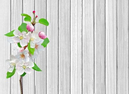 Apple blossom branch on white wooden background photo