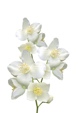 white flowers: beautiful jasmine flowers with leaves isolated on white Stock Photo