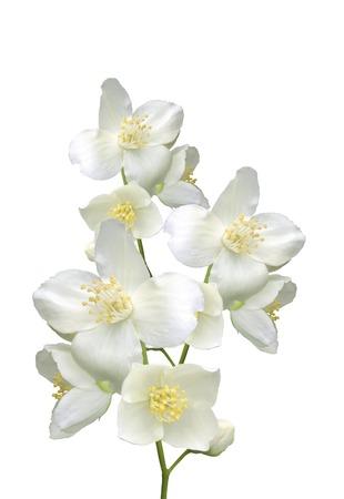 bouquet fleur: belles fleurs de jasmin avec des feuilles isol�es sur fond blanc