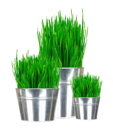 Fresh green grass in small metal buckets isolated on white photo