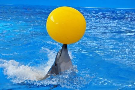 delfin: Tursiops w niebieskiej wodzie z żółtą piłkę