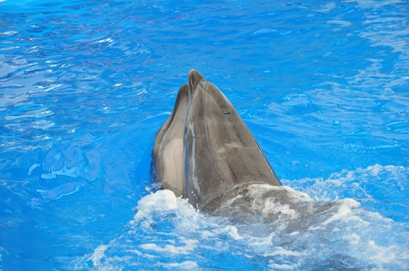 grampus: two bottlenose dolphins in blue water