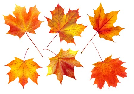 colorful autumn maple leaves isolated on white background
