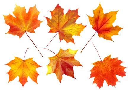 arboles secos: colorido del otoño las hojas de arce aisladas sobre fondo blanco