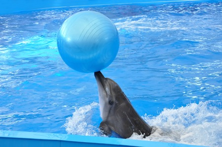 grampus: bottlenose dolphin in blue water with blue ball