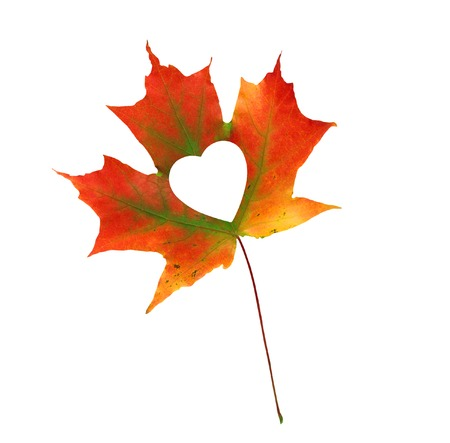 heart white: Fall In Love Photo Metaphor. Red Maple Leaf With Heart Shaped isolated on white