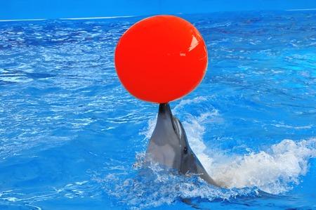 delfin: Tursiops na niebiesko wody z czerwoną piłkę
