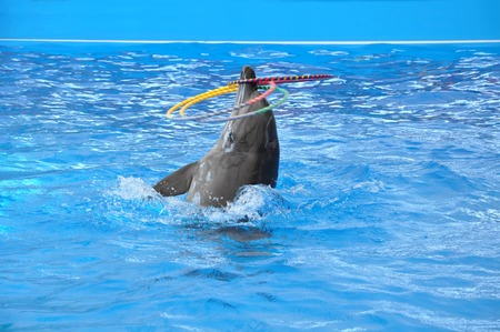 delfin: bottlenose dolphin in blue pool water
