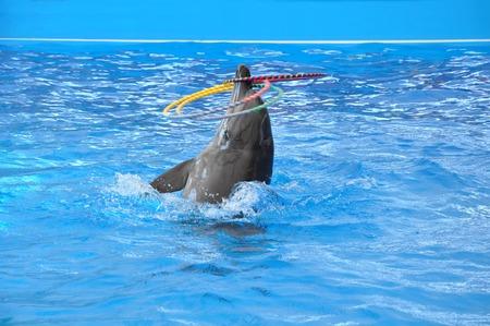 dauphin: dauphin dans de l'eau de piscine bleue