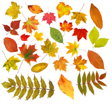 collection beautiful colourful autumn leaves isolated on white background Фото со стока