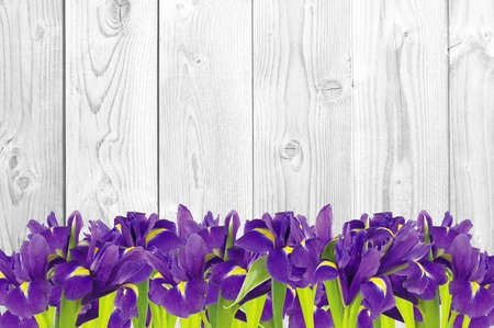 blueflag: Blueflag or iris flower on white wooden background Stock Photo