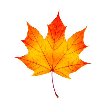 fall leaf: colorful autumn maple leaf isolated on white background
