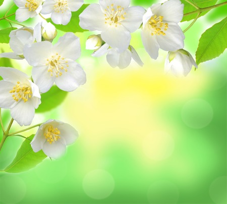 flower decoration: Jasmine flower with leaves over beautiful nature background Stock Photo