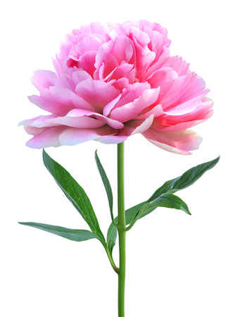 beautiful pink peony isolated on white background