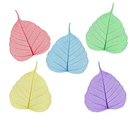 peepal: colorful sceleton leaves bodhi , macro, isolated on white