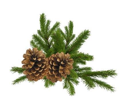 bushy plant: branch of fir-tree and cone isolated on a white background Stock Photo
