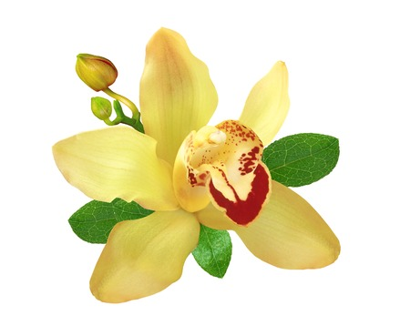 yellow orchid: Yellow orchid with green leaves isolated on white Stock Photo