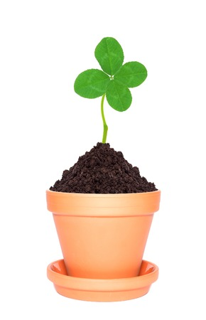 quarterfoil: Clover leaf growing out of ground in pot isolated on white background