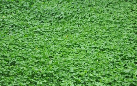 marsilea: green clover leaves background Stock Photo