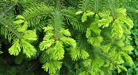 twig: Beautiful yew twig Stock Photo