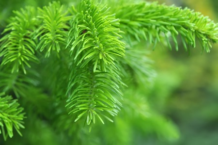 twig: Beautiful yew twig Stock Photo